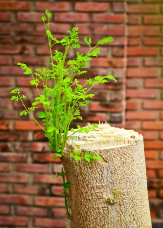 Young branch on the old tree stump with grungy brick wall Stock Photo - 14922064