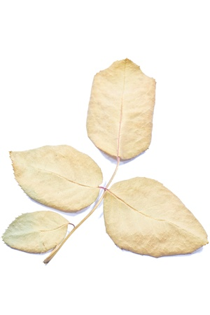 dry rose leaf Stock Photo - 14922070