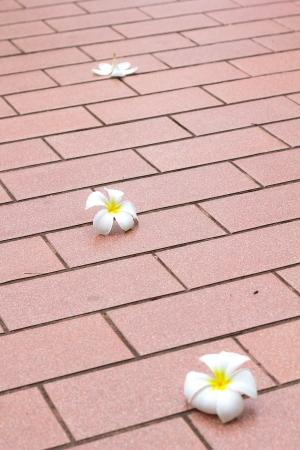 Plumeria flower on the tiles floors Stock Photo