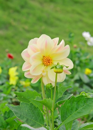 a photo of colorful dahlia flower with yellow center over green grass photo