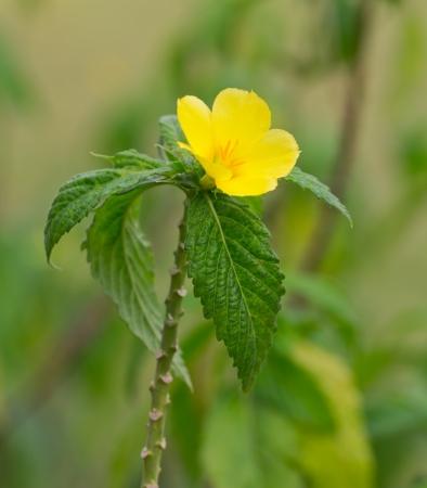 yellow alder: a photo of Turnera ulmifolia  yellow Alder flower  in the morning