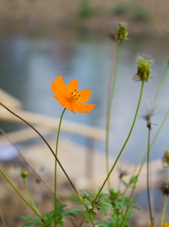 a photo of orage cosmos at river side photo