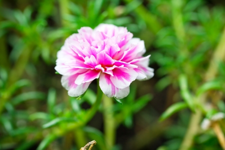 a photo of Closeup Portulaca flowers photo
