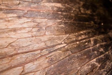 coronarium: close-up of dry andinum fern(Platycerium coronarium fern) Stock Photo
