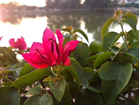 a photo of paper flower [Bougainwillea] on lake side photo