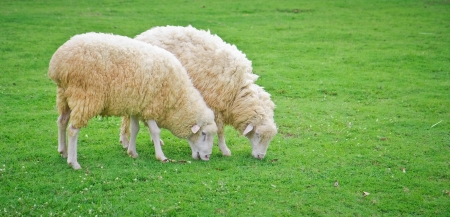 a photo of sheep in green field farm photo