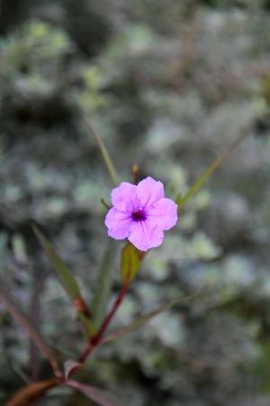 petunia wild: Wild penucias [Ruellia] flower