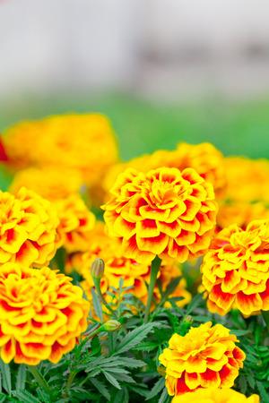 a photo of vibrant marigold in garden