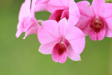 a photo of close up orchid [phalaenopsis] in natural