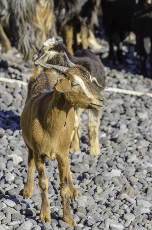 subsequently: After a very old tradition, the goats are driven to the water in the context of the Festival of San Juan. Subsequently, the goats are bathed by the shepherds. Not only the fur cleaning also against parasites helps the salt water. Minor injuries heal faste Stock Photo