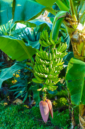 A banana tree with large leaves and even green bananas. Down at the beach hanging flowers