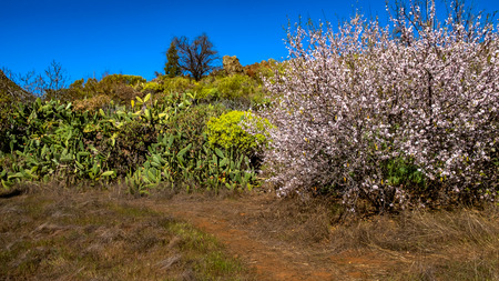 Almond trees in blooming at Santiago del Teide