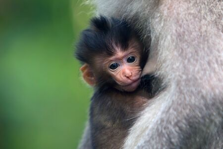 black-haired monkey baby drinks milk from the breast of a macaque mother