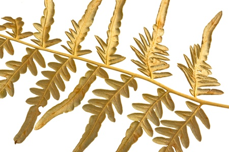 branch dry fern on isolated background photo