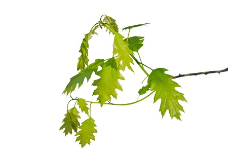 oak branch isolated white background leaf green photo