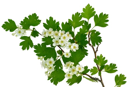hawthorn: May blossom, the flower of a hawthorne tree