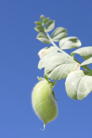 chickpea: vegetable plant chickpea seed with its small size.
