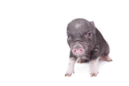 newborn piglets in three days on a white background photo