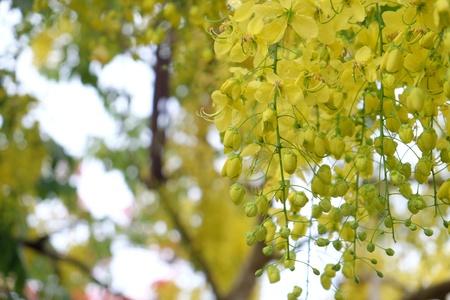 cassia: Cassia fistula or goldenshower tree