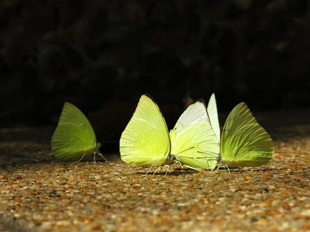 mariposas amarillas: Las mariposas amarillas Foto de archivo
