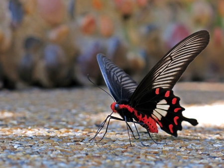 swallowtail: Beautiful tiger swallowtail butterfly Stock Photo