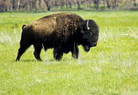 Bison or Buffalo on the Plains Stock Photo