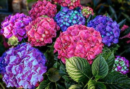 Kleurrijke Hortensia