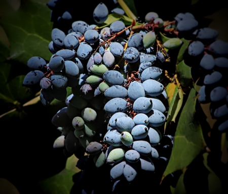 Blue Grapes on Vine Stock Photo