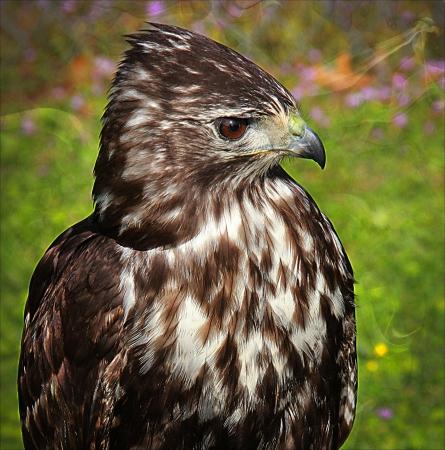 a large bird of prey: Hawk - Bird of Prey Archivio Fotografico