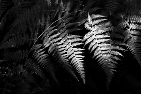 Monochrome Ferns in Shadow