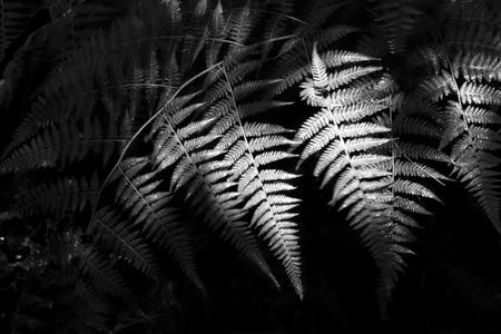 Monochrome Ferns in Shadow