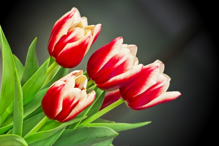 Red and White Spring Tulips Stock Photo