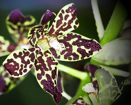 Oncidium - Tiger Orchid Stock Photo
