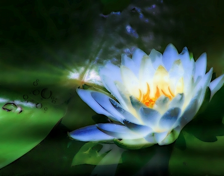 Softly Lit and Glowing Blue Water Lily Image Stock Photo