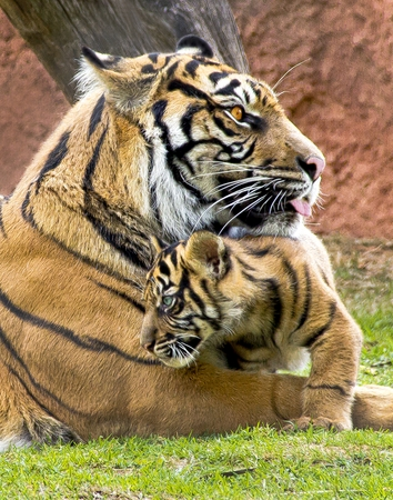 Tiger Mother and Child Image Stock Photo