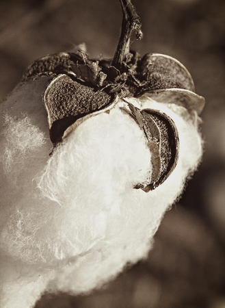breathable: Cotton Boll Plant In Sepia Stock Photo