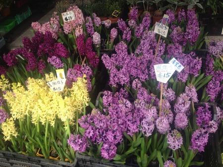 hyacinthus: P�rpura, rosa, amarillo Hyacinthus orientalis flor en el mercado de flores Foto de archivo