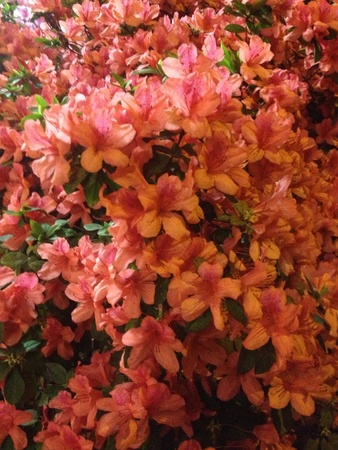 핑크색 꽃이 봄에 피고