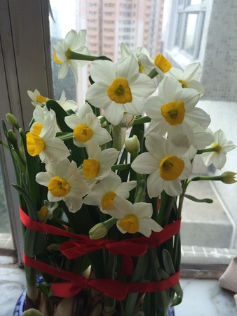 wish: Narcissus flower in Chinese New Year Stock Photo