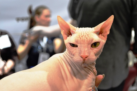suspiciously: Sphynx cat suspiciously looking at the camera Stock Photo