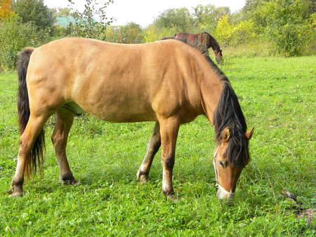 nibbling: horse chestnut nibbling the grass in a meadow on a background of a light chestnut horse suit Stock Photo