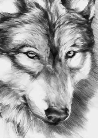gray wolf: black-white painted wolf Illustration