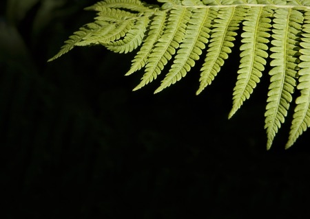 Fern in the forest with lots of room for copy on other unfocused fern background.
