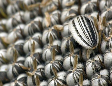 Sunflower seeds ready for harvesting Stock Photo - 1885026