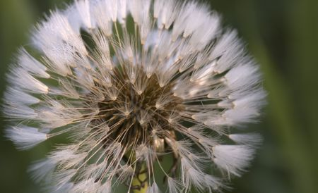 Frozen wishes: frosty dandelion seeds