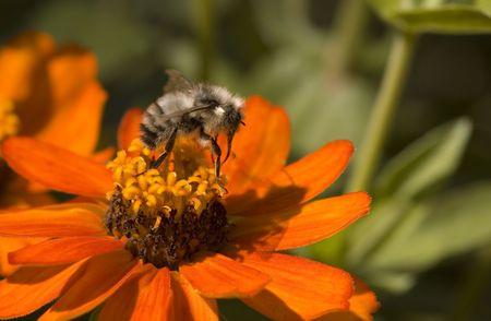 Bee on a garden flower