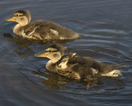 Baby Canada Geese.