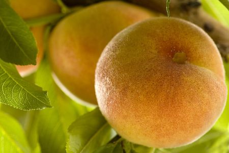 Peaches - time to harvest.