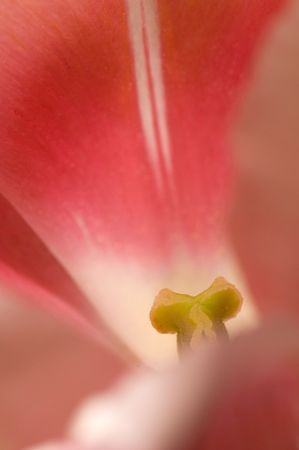 Macro Tulip - Upclose and Personal.