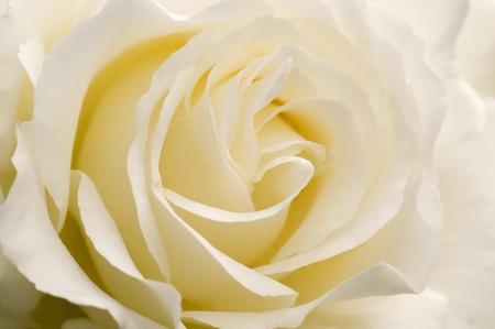 Rose is love